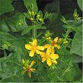 Sint-janskruid bloeiwijze (Hypericum perforatum).jpg