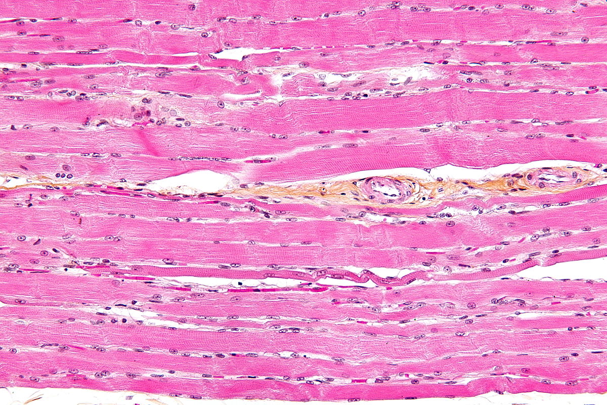 striated muscle tissue - wikipedia, Human body