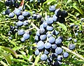 Sloes - geograph.org.uk - 244004.jpg