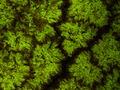 Slupka plodu Tamarindus indica.jpg