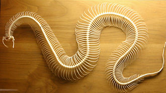 Snake skeleton - Image: Snake skeleton