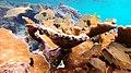 Snorkeling Bari Reef, Bonaire (12841601864).jpg