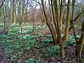Snowdrop wood - geograph.org.uk - 1078769.jpg