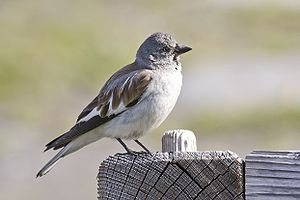 White-winged snowfinch - Image: Snowfinch