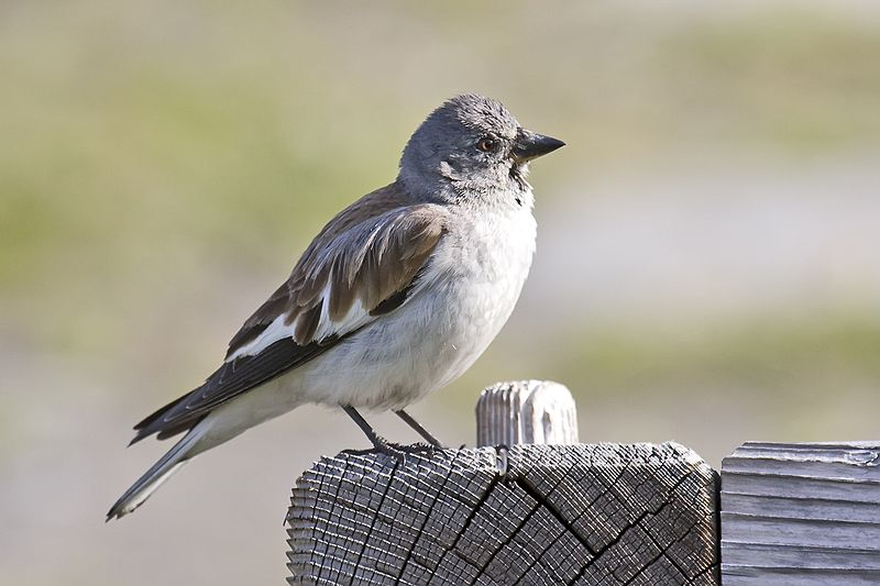 800px-Snowfinch