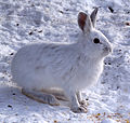 Snowshoe Hare, Shirleys Bay.jpg