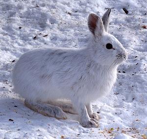 Snowshoe hare - Winter morph