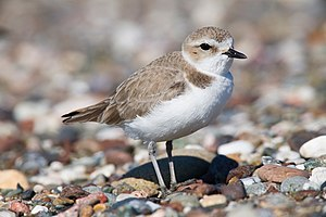 Western Snowy Plover south of Villa Creek, Est...