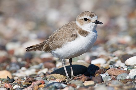 Snowy Plovers nest at several beaches