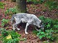 Snuffling wolf.jpg