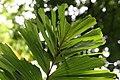 Socratea exorrhiza 14zz.jpg