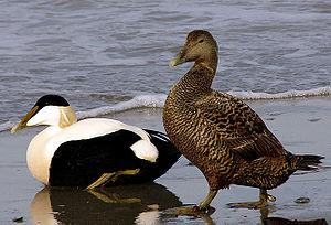 Common eider - Image: Somateria mollissima male female