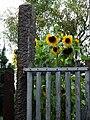 Sonnenblumen überm Gartenzaun.JPG