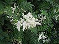 SorbariaSorbifolia4.jpg