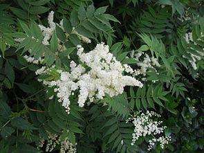 Sibirische Fiederspiere (Sorbaria sorbifolia)