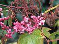 Sorbus seedling - Flickr - peganum.jpg