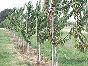 Sour cherry orchard on Lake Erie shorelineLeamington, Ontario
