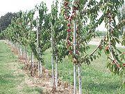 Sour cherry orchard on Lake Erie shorelineLeamington, Ontario