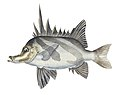 Southern Pacific fishes illustrations by F.E. Clarke 19.jpg