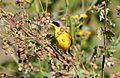 Southern Yellowthroat (Geothlypis velata) (15338565924).jpg
