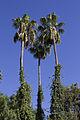 Southern california palm trees.jpg