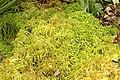 Sphagnum.fimbriatum.2.jpg