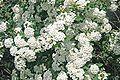 Spiraea vanhouttei - flowers.jpg