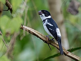 Sporophila murallae - Caqueta seedeater (male); Serra do Divisor National Park, Acre, Brazil.jpg