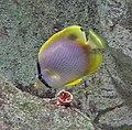 Spotfin butterflyfish.jpg