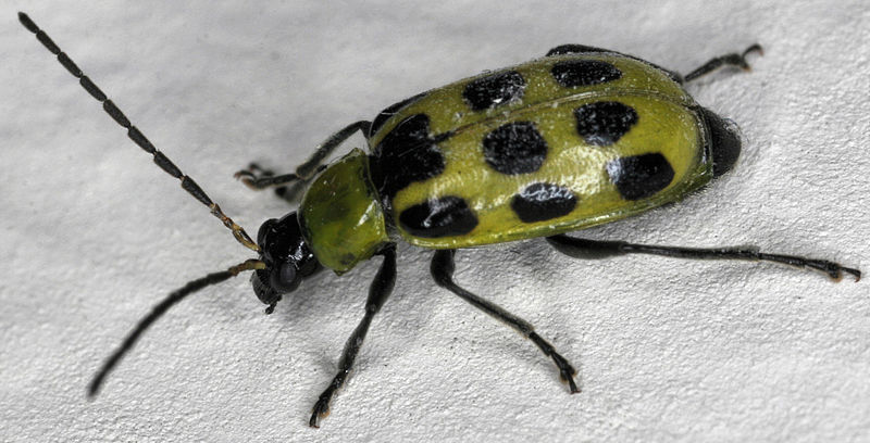 File:Spotted Cucumber Beetle.jpg