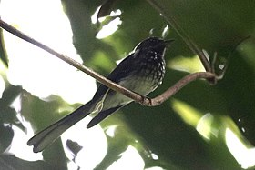 Spotted Fantail.jpg