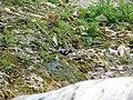 Spotted Forktail - Enicurus maculatus - P1070834.jpg
