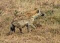 Spotted Hyena, Ngorongoro.jpg