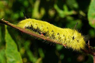 Apatelodes torrefacta - Image: Spotted apatelodes (Apatelodes torrefacta) side view