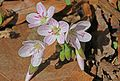 Spring Beauty - Claytonia virginica, Julie Metz Wetlands, Woodbridge, Virginia.jpg