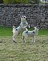 Spring Lamb in Horton in Ribblesdale - geograph.org.uk - 427718.jpg