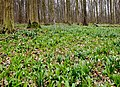 Spring Snowflake in the German wood.jpg