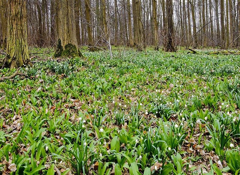 File:Spring Snowflake in the German wood.jpg