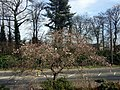 Spring blossom in Shinfield Road - geograph.org.uk - 725198.jpg