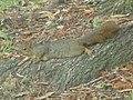 Squirrel Lying Down.jpg