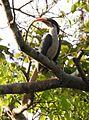 Sri Lanka Grey Hornbill Ocyceros gingalensis by Dr. Raju Kasambe DSCN3750 (1).jpg