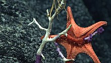 A starfish with its stomach turned outside its mouth to feed on coral