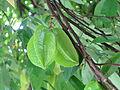 Starfruit Kirakira.JPG