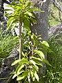 Starr-040131-0103-Charpentiera obovata-leaves-Auwahi-Maui (24069515054).jpg
