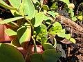 Starr-041223-2230-Senna gaudichaudii-flower buds-Kanaio Beach-Maui (24354944289).jpg