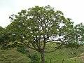 Starr-051122-5406-Jacaranda mimosifolia-habit-Haleakala Ranch-Maui (24482013029).jpg