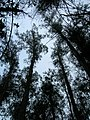 Starr-051123-5470-Eucalyptus globulus-canopy-Haleakala Ranch-Maui (24755671711).jpg