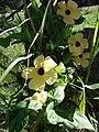 Starr-070111-3093-Thunbergia alata-yellow flower form-Montressori School Baldwin Ave-Maui (24582887490).jpg