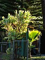 Starr-080328-3931-Cordyline fruticosa-habit-Makawao-Maui (24278580164).jpg