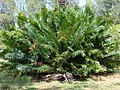 Starr-080531-4924-Cycas circinalis-habit-Commodore Ave around residences Sand Island-Midway Atoll (24284110493).jpg
